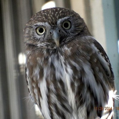 One of the favorite owls.