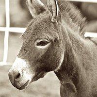 Our miniature donkey Else Mae