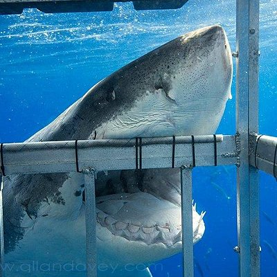 Awesome action from our cage in Gansbaai,Cape Town,South Africa