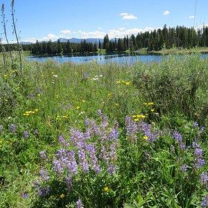 Wildflowers near Indian Pond