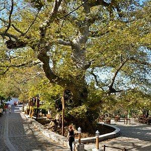Platanus Tree