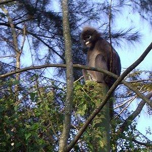 A Silver Leaf Monkey