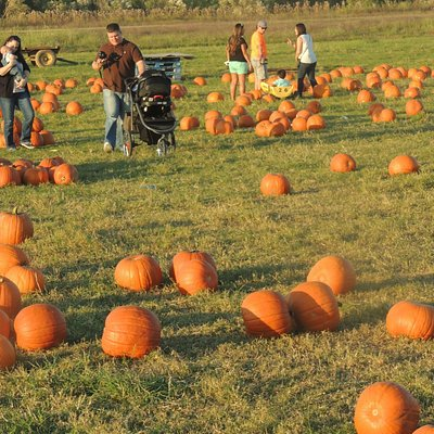 Families pick out pumpkins and take them home.
