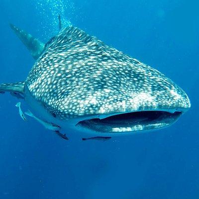 Whale Shark - Koh Haa