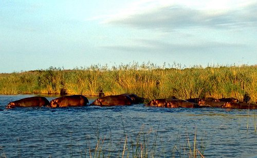 One of the groups of hippos we encountered