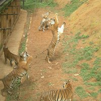 Visitors and tigers playing together