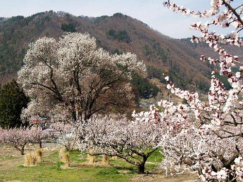 江戸時代からの古木と新品種のあんず