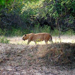 A grown up Leopard in Yala