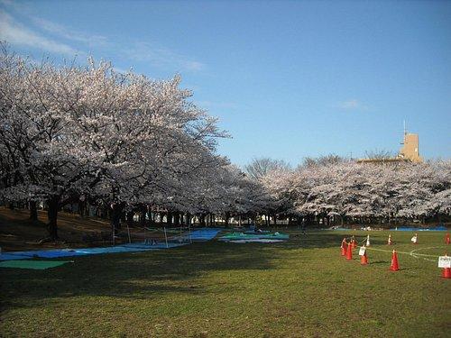 桜の咲くころの蕨市民公園