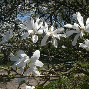 Blooms of magnolia in the Botanical Garden of University of Latvia