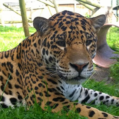 Loki the Jaguar