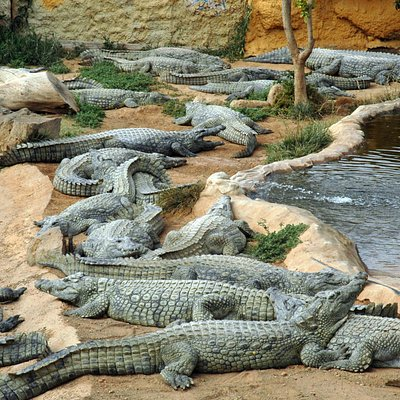 cocodriloas