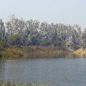 Phase 1  Waterbody - Dozens of Cormorants, Ducks etc.