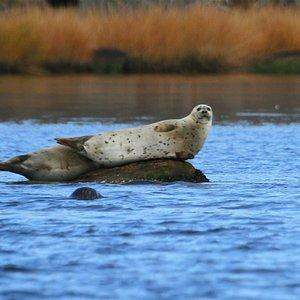Harbor Seal in Little Narragansett Bay