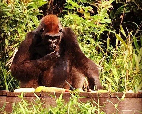Ilha dos Gorilas