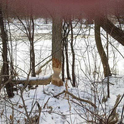 beavers and trees