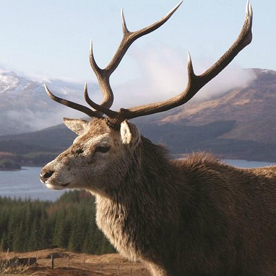 Stag on the Black Mount