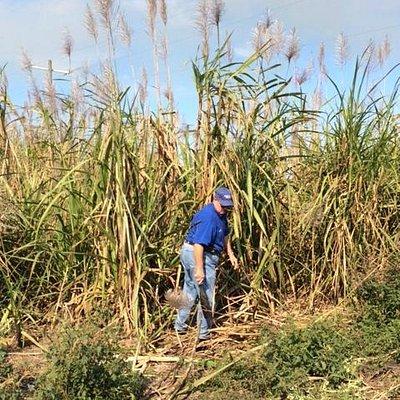 Bobby cutting sugar cane samples