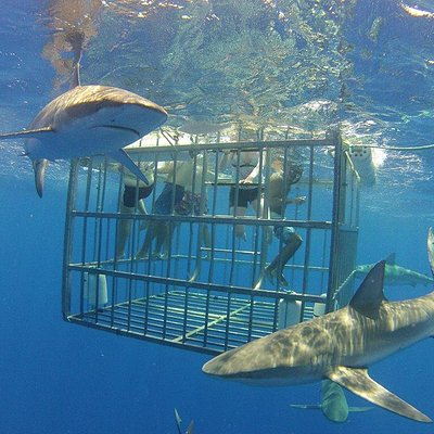 Sandbar Sharks in the front with Galapagos Sharks behind the cage.