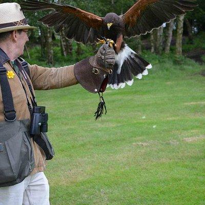 Hawk walks