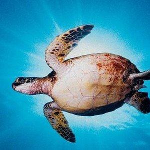 Sunburst Turtle