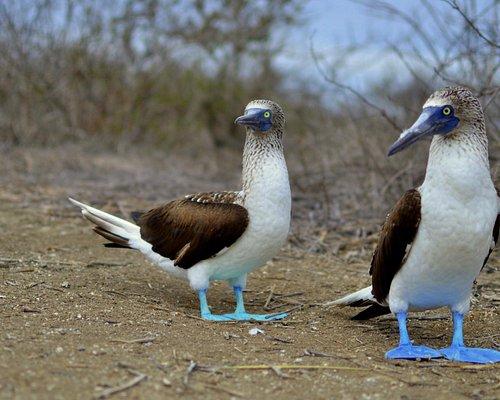 Piqueros de patas azules