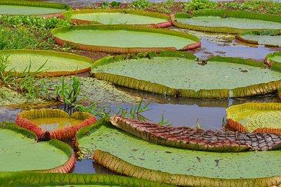 Giant water-lillies