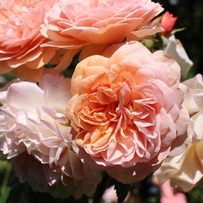roserne