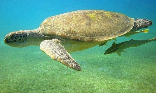 Turtles not that unusual in Safaga