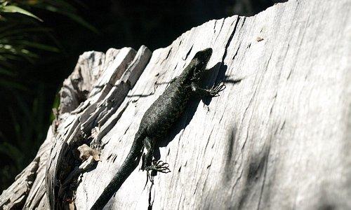 Largartija y parece que estaba esperando lagartijitas,,,
