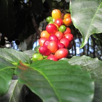 You can smell the coffee beans growing