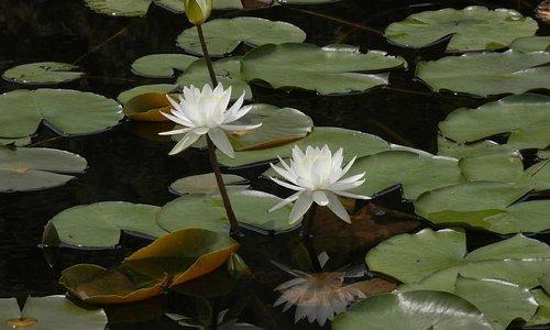 白い蓮の花です