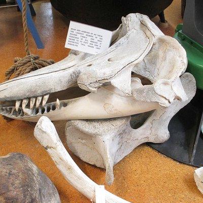 Orca skull