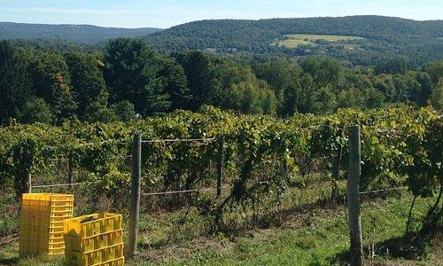 DiGrazia's Vineyard