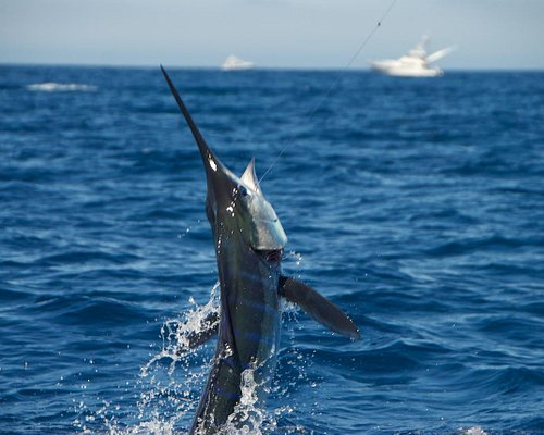 hooked on striped marlin