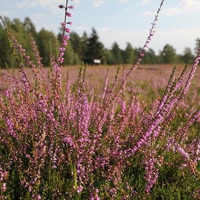 Hösseringen Heideflächen