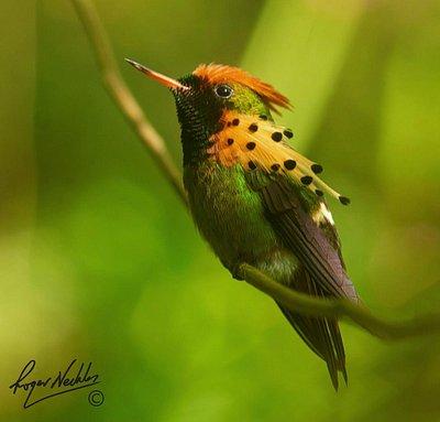 Trinidad and Tobago's smallest Hummingbird - Tufted Coquette