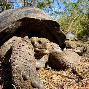 Giant Tortoise on Floreana Island
