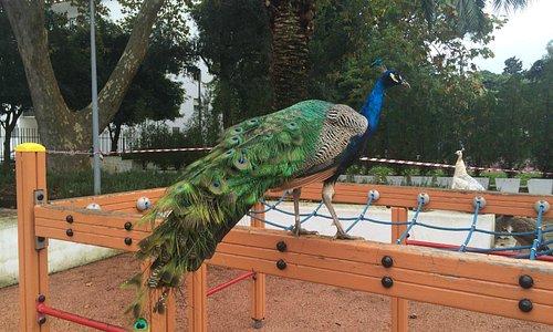 a peafowl