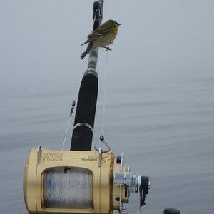 Song birds way offshore