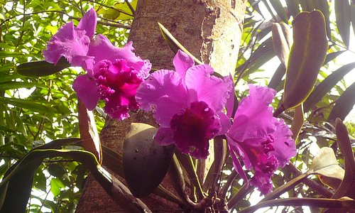 Cattleya blooming March 2015