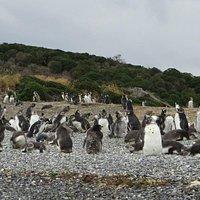 Pinguinera
