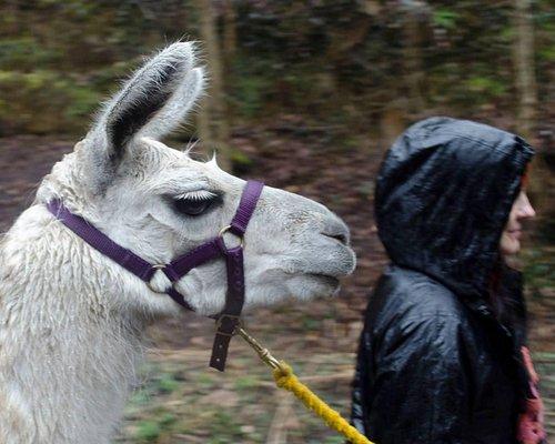 Llama trekking, still fun despite the rain.
