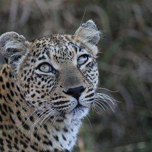 Gorgeous female Leopard, Greater Kruger Park