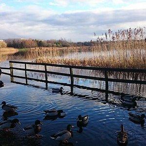 Ducks at Clare Lake