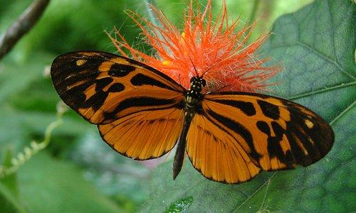 Heliconius numata. Orange long wings feeding on Gurania flowers
