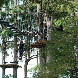 Orang utan walk in Serama Camp. The height is around 12 meter