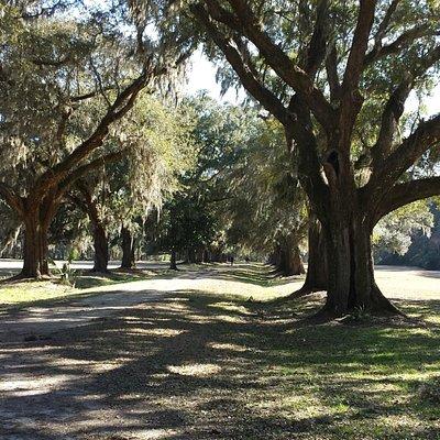 Old live oak lined entrance to plantation