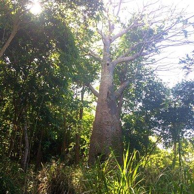 The St. John Baobab Tree, Sieben Ruins