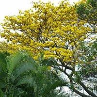 Spring blooming of golden trumpet tree (3/2015)